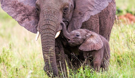 Elephants May Hold the Key to Fighting Cancer