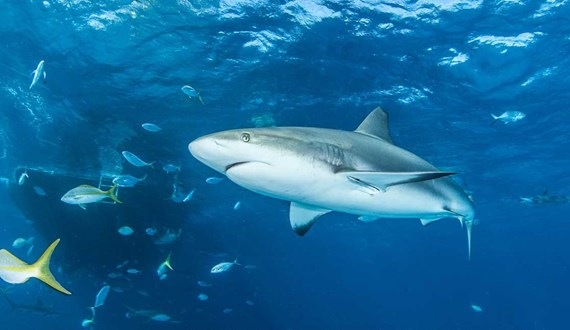 Healing Power of Sharks May Hold Cancer Clues