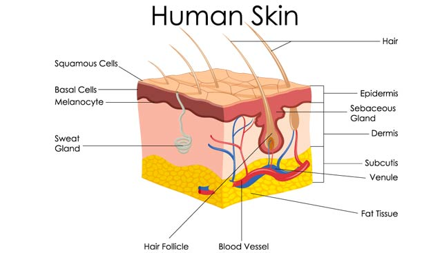 basal cell carcinoma treatment | moffitt cancer center, Human Body
