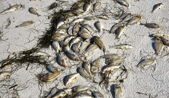 Can Inhaling Toxins from Red Tide Cause Cancer