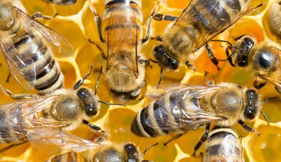 Are Honeybees a Cancer Killer