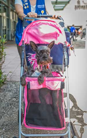 Pet therapy dog in stroller